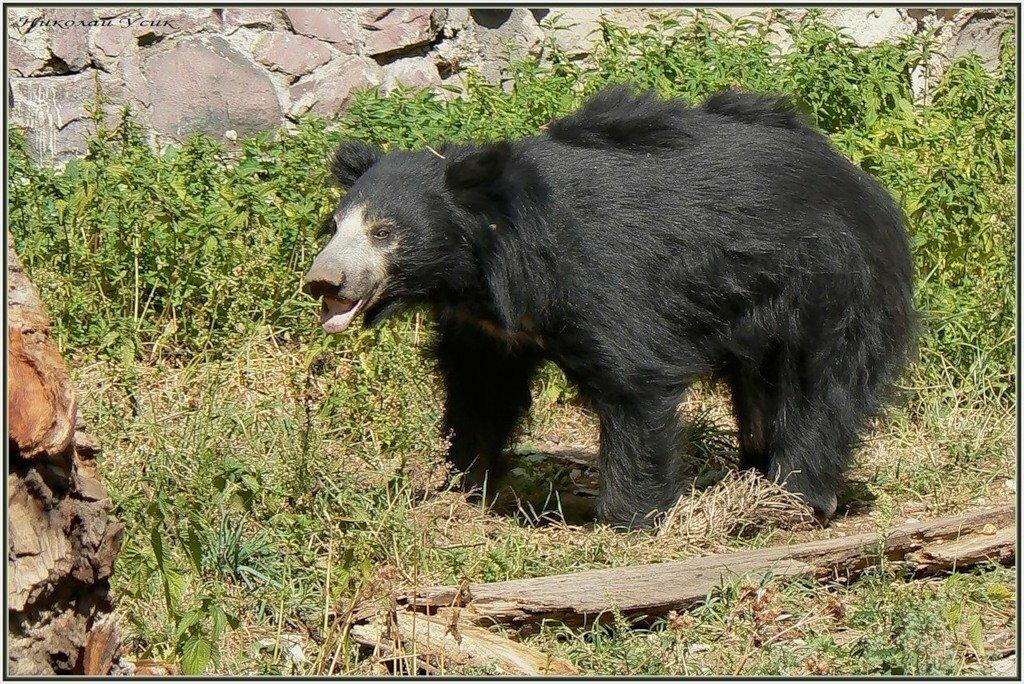 Названия медведей с картинками
