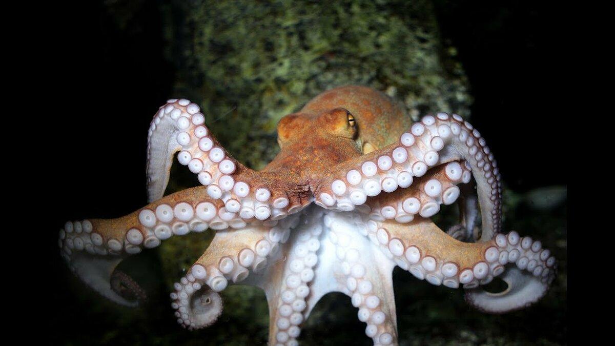 огромных морские осьминоги картинки с названиями первым этапом