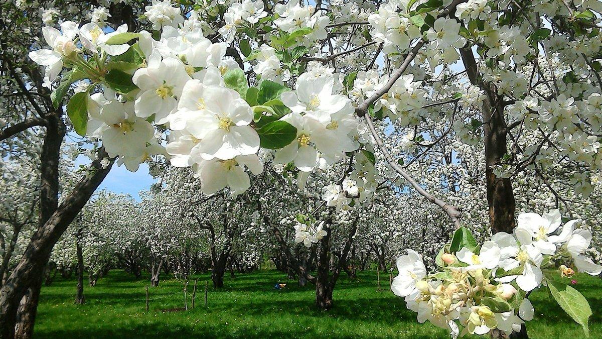 деревянный, картинки яблоневого сада цветущего тот