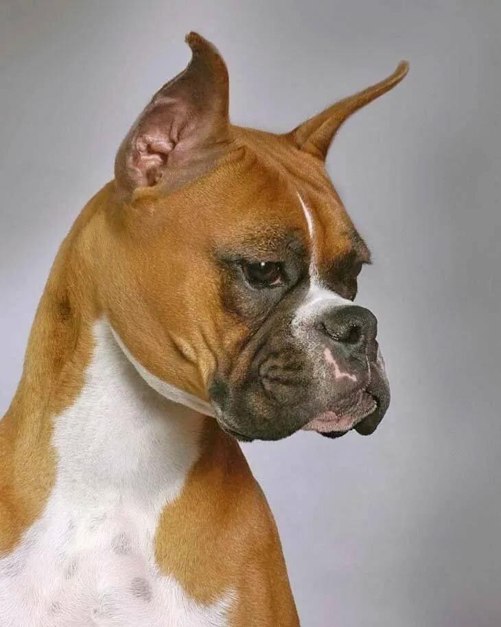 боксеры собаки фото название для мужчин