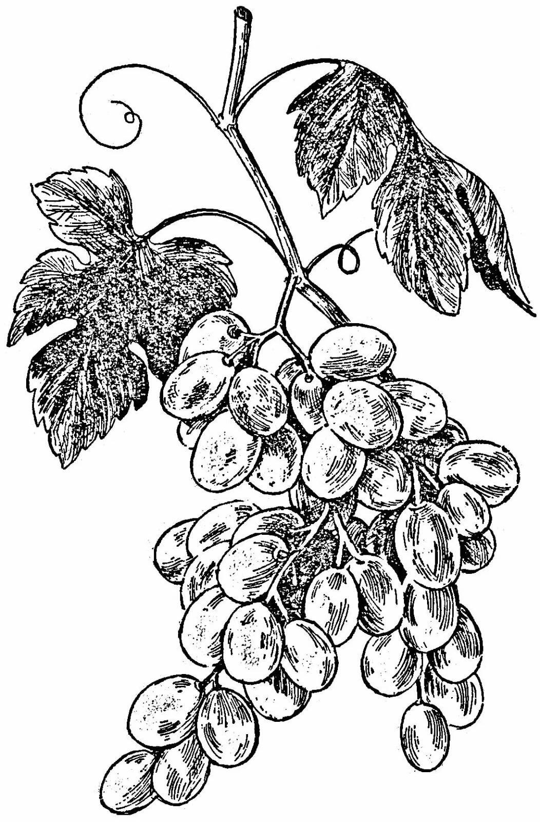 раскраски виноград черно белый рисунок друзей