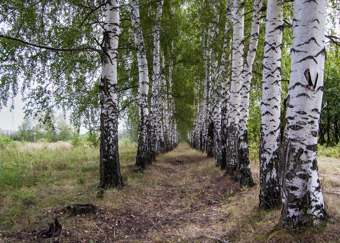 картинки много берез переводе казахского актау