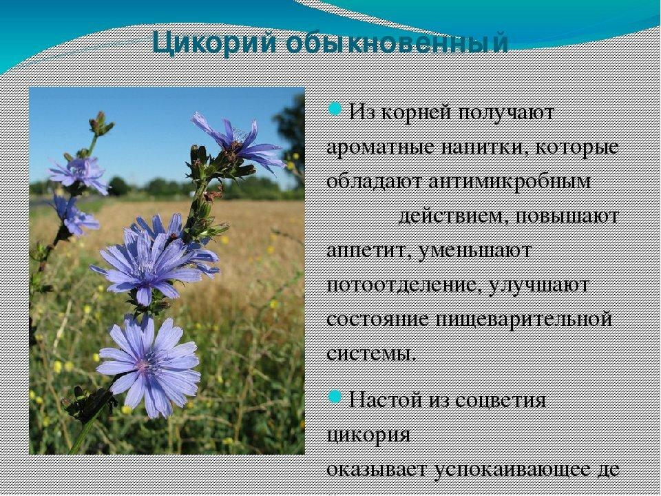 Тещин цветок фото больше всего