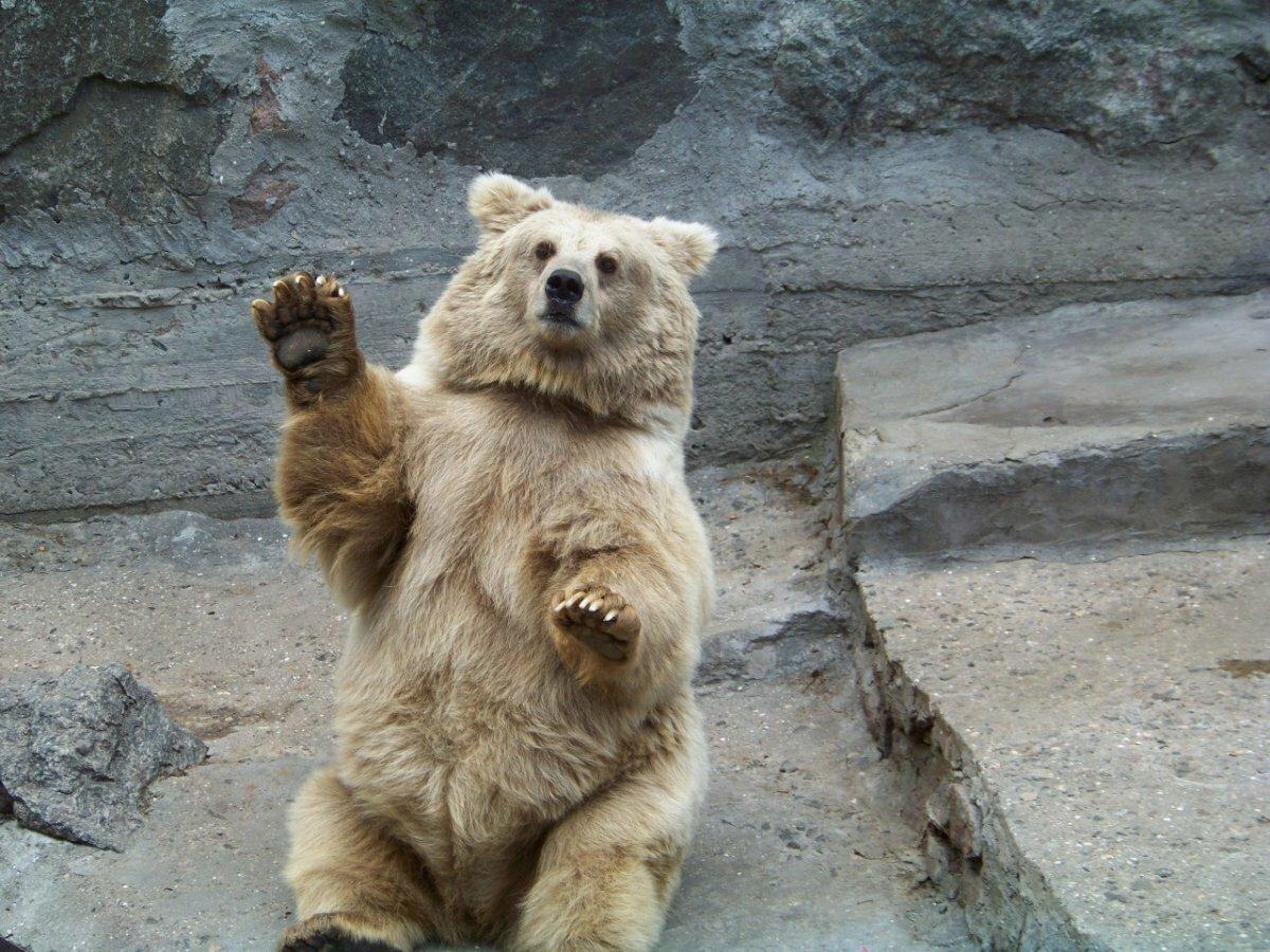 картинка медведь машет лапой удобная программа