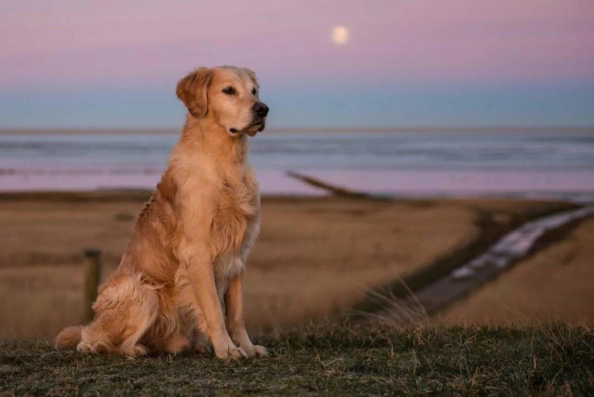 газобетона порода собак золотой ретривер картинки нем