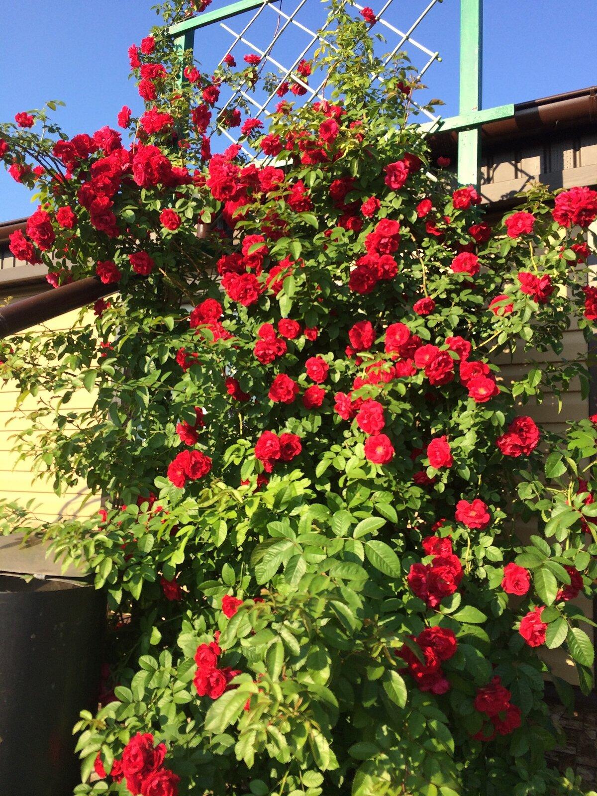 Кустовые быстрорастущие розы названия фото