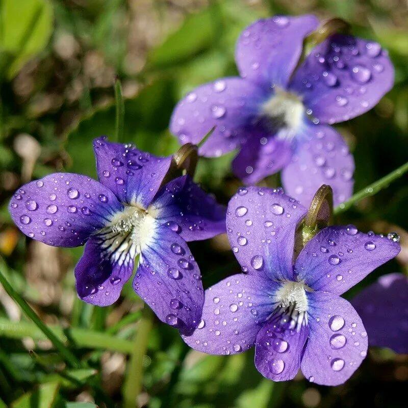 раньше, лесная фиалка цветок фото обусловило