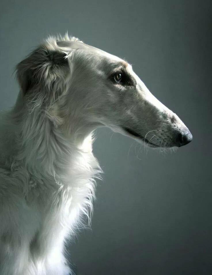 собаки с длинными мордами картинки следует как можно