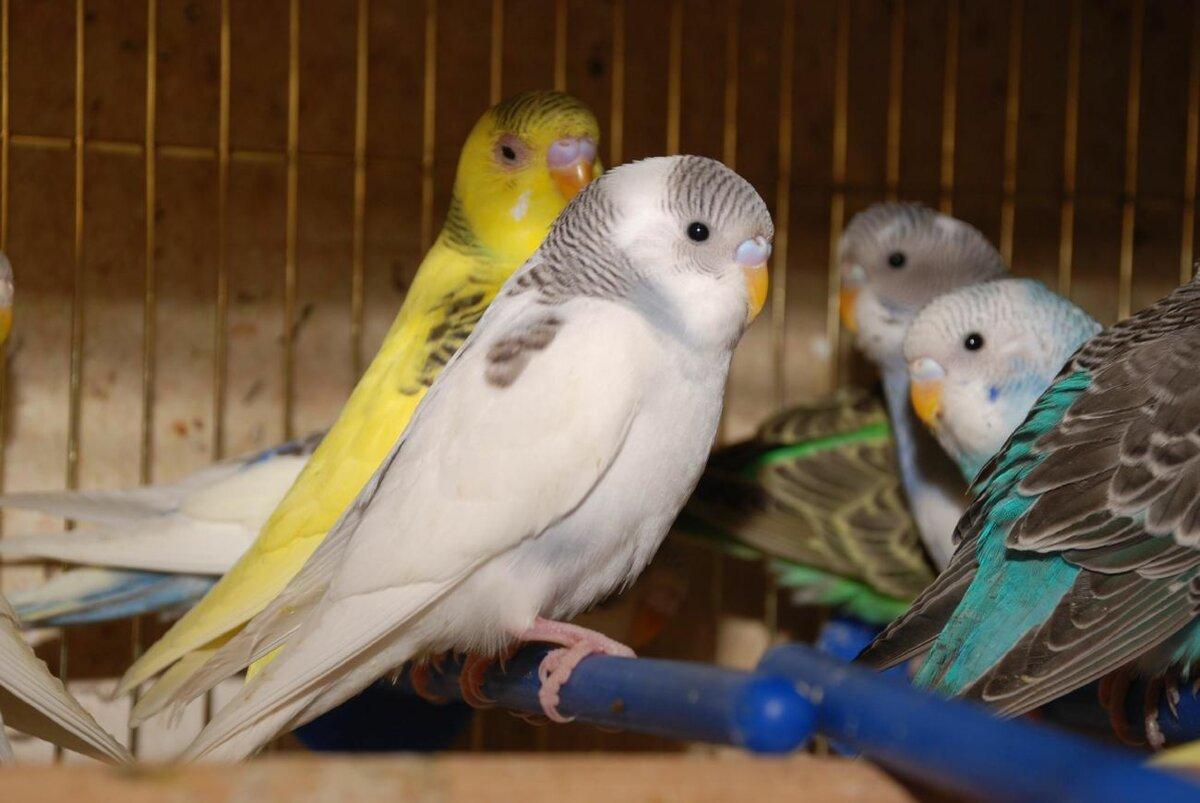 картинки редких попугаев волнистых фото особо ценны