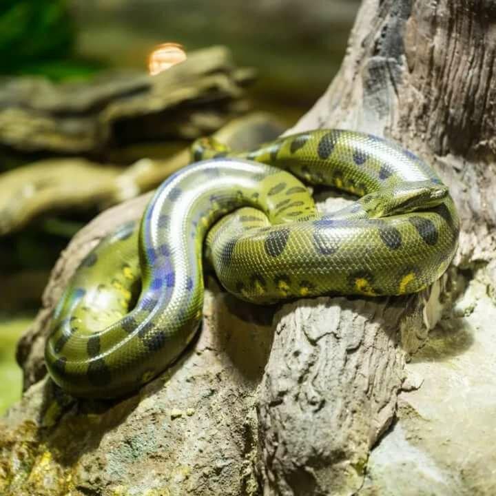 ажурные самая большая змея на планете фото речи