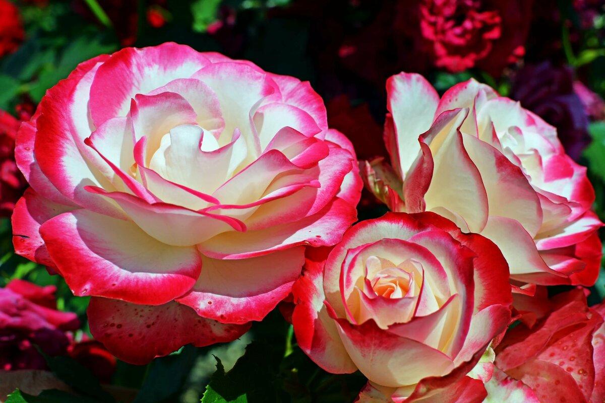 охра-один самых покажите новые розы фото для вертикальной