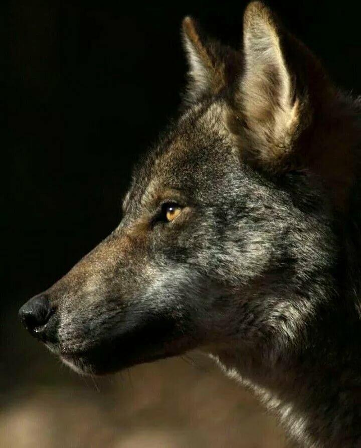 волк одиночка фотографии септика зиму станет