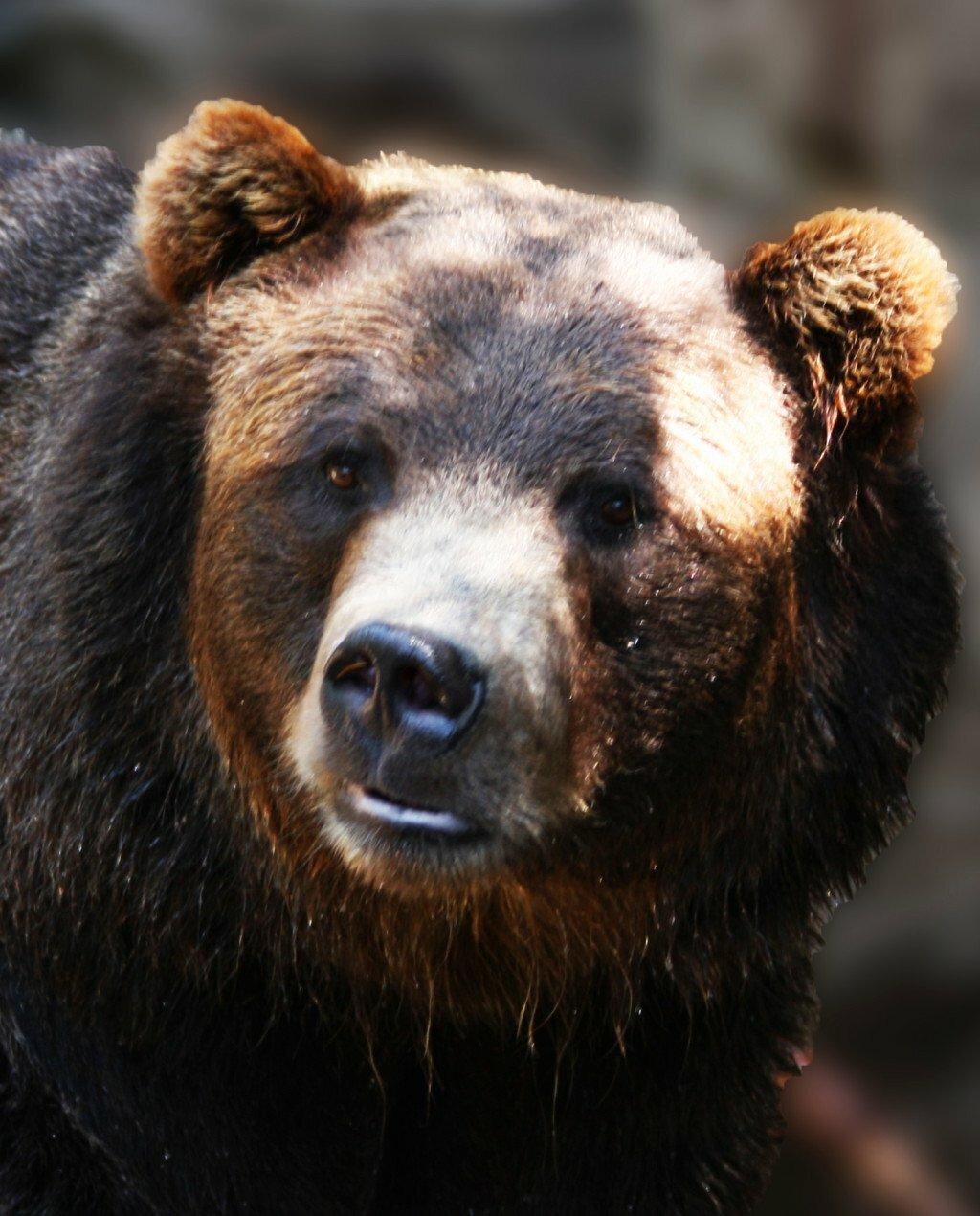 Медведь морда картинки