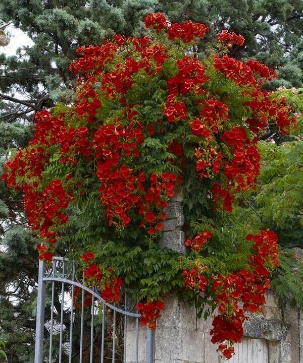Растения лианы для сада фото