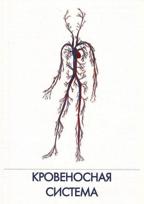 Кровеносная система человека в картинках для детей