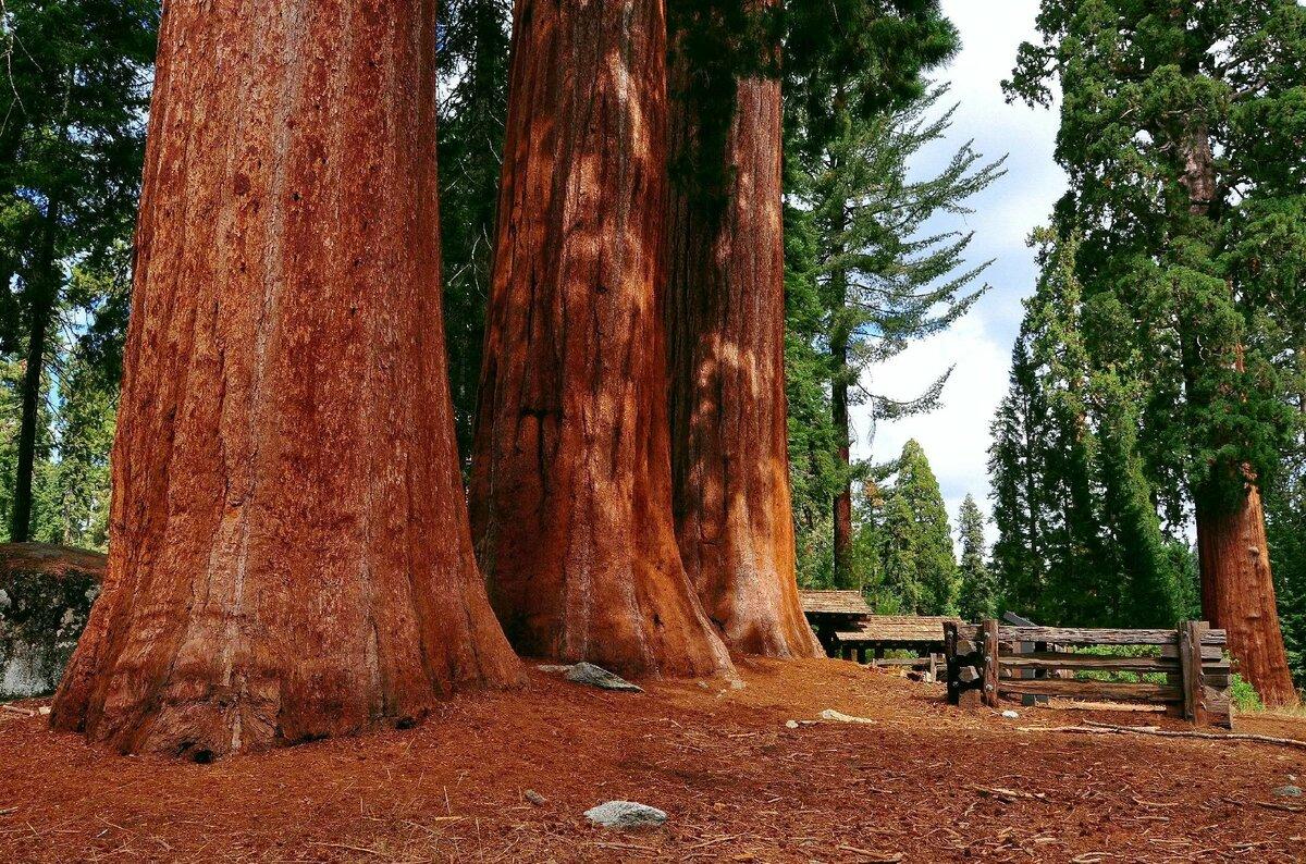 дерево махагони картинка