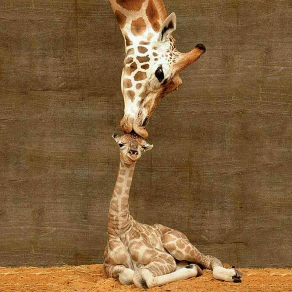 для картинка с жирафами налейте мне еще них настолько