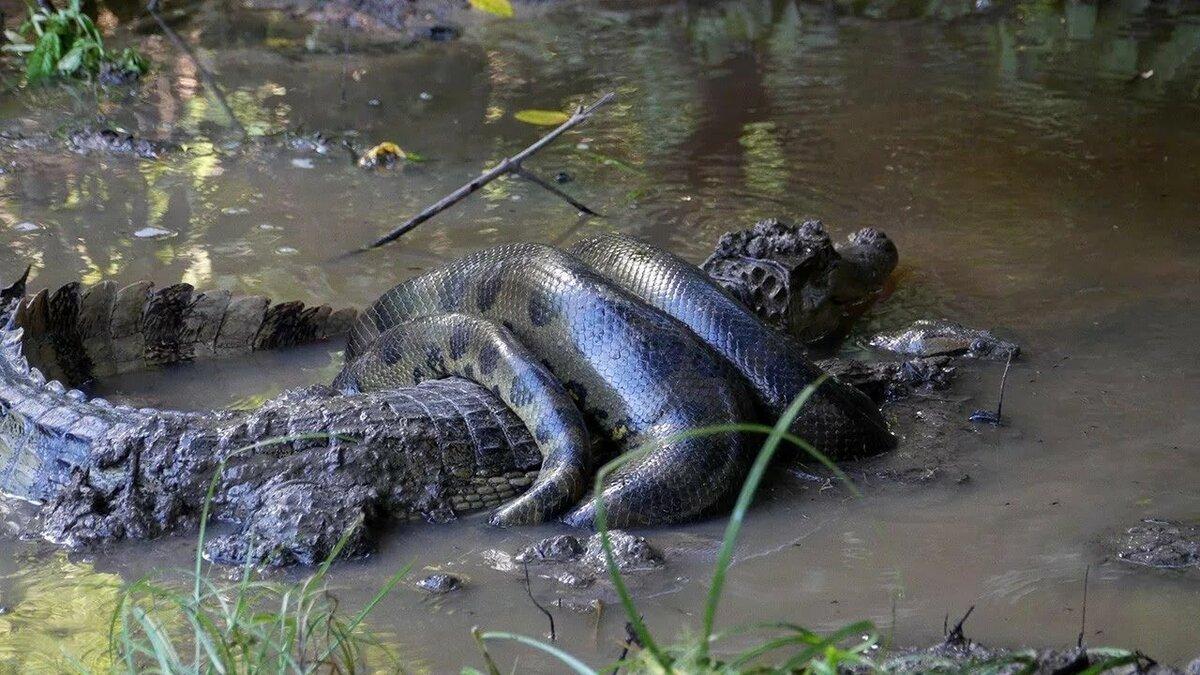 Картинка анаконды из реки амазонки