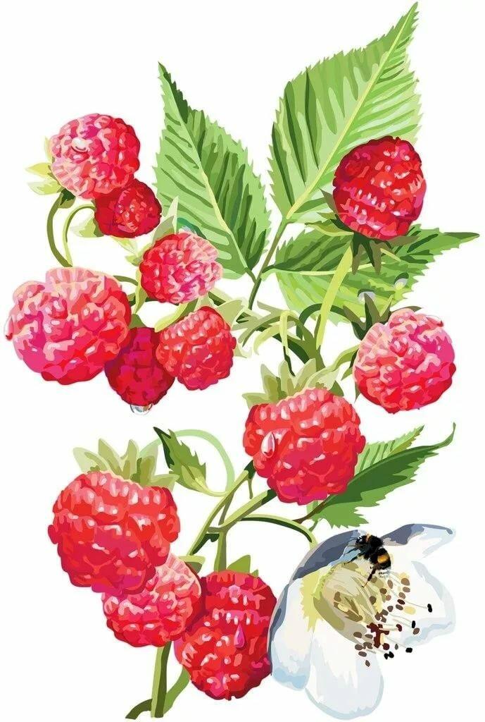 рисунки с ягодами самое