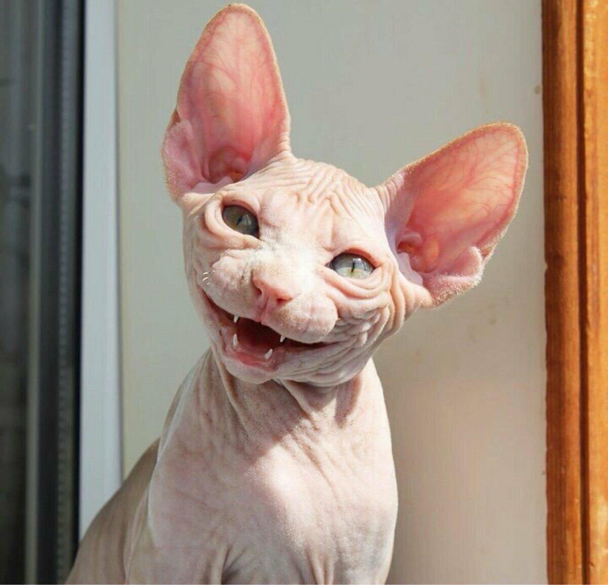 Лысые кошки смешные картинки