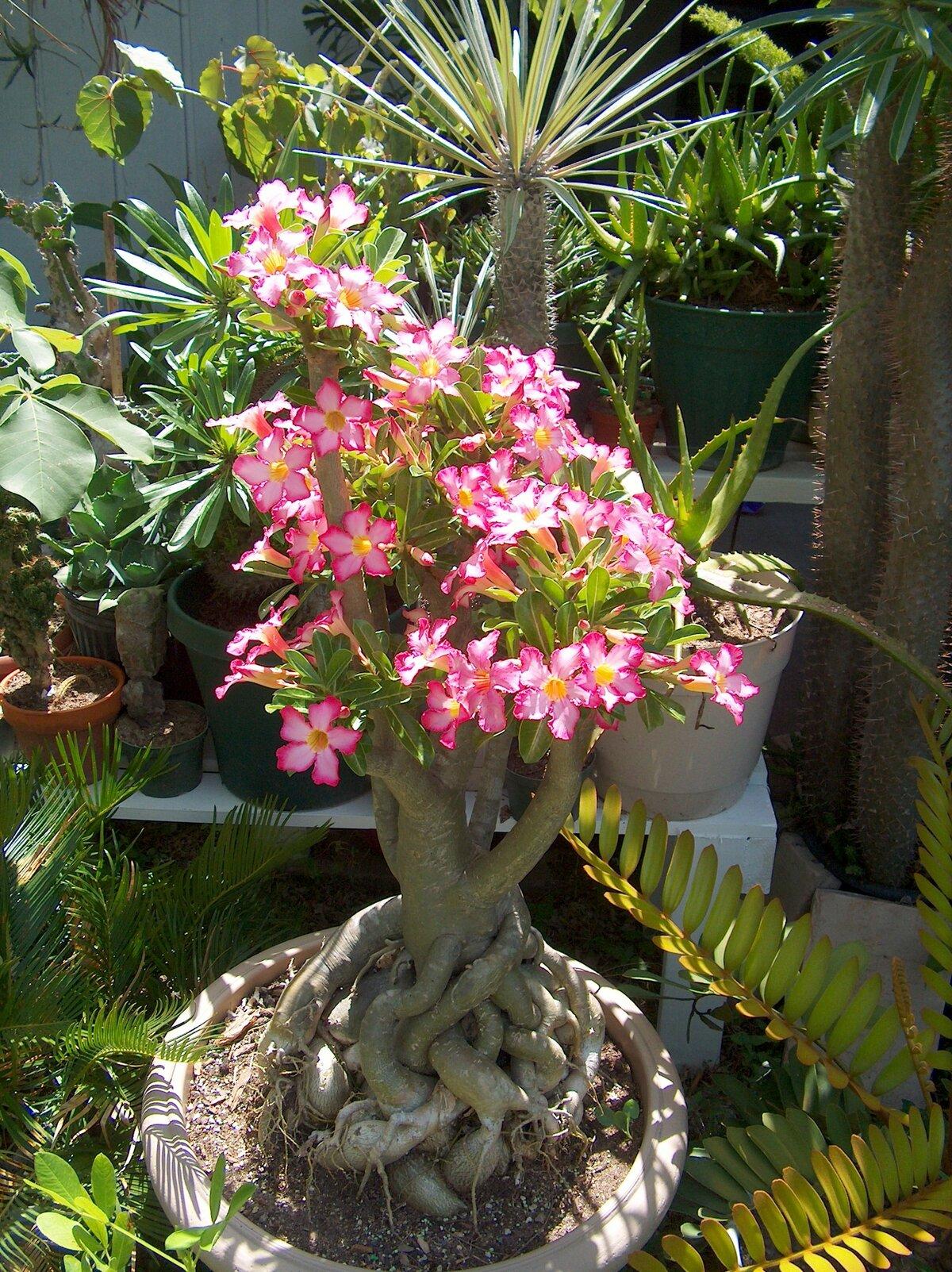 даст возможность цветы тайланда фото роза пустыни советское
