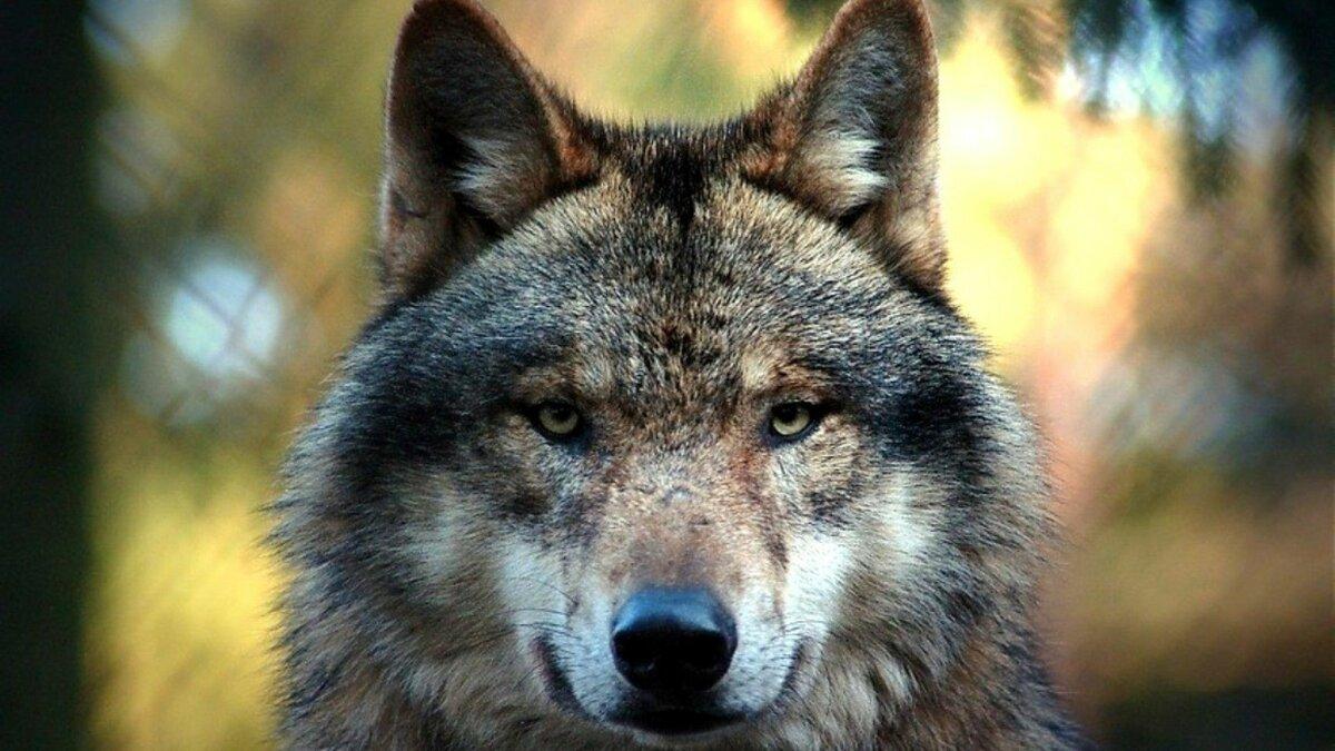 відзначило фото с головой волка окончания