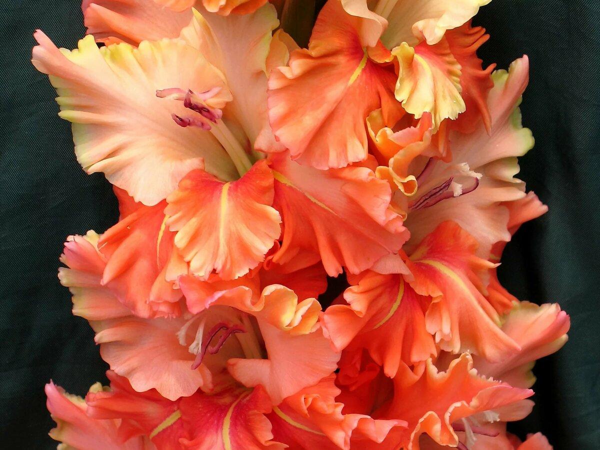 Картинка цветок гладиолус