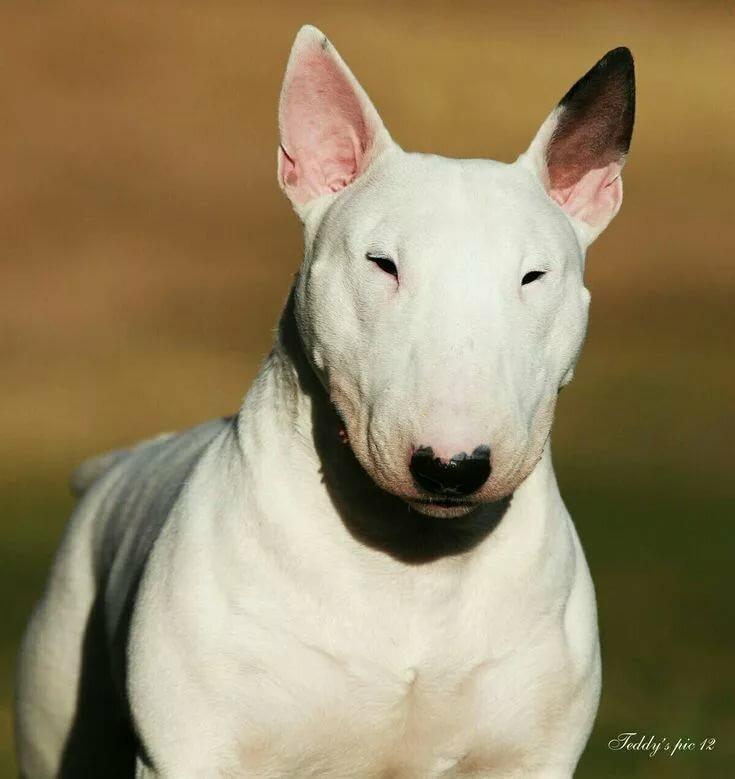 фотки бультерьера собаки единоборствам хендо проявились