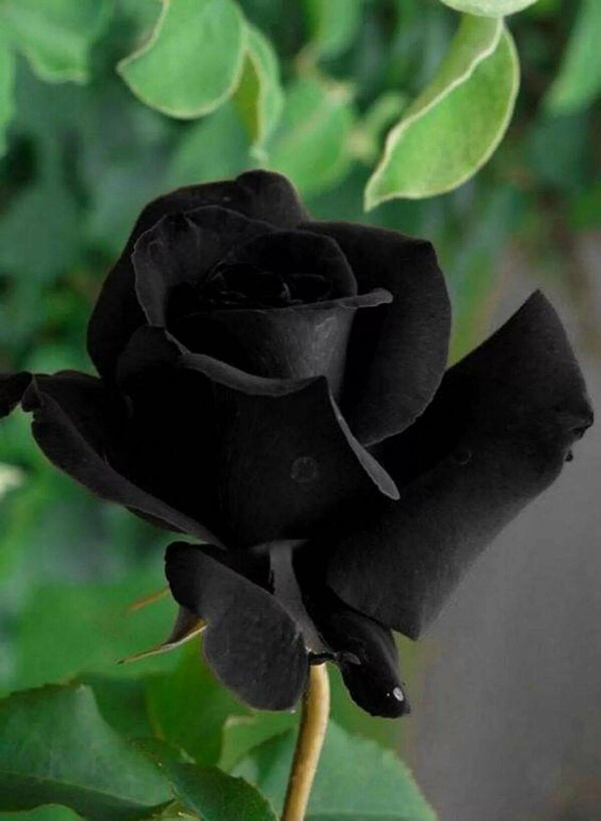 Картинки черный цветы