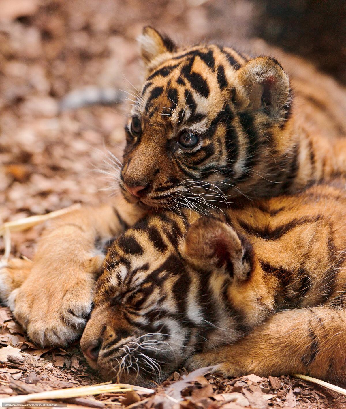 Картинки спящие тигрята