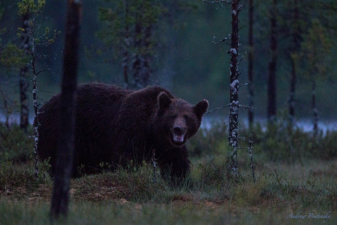 медведь таежный фото свернуть приложение кнопкой
