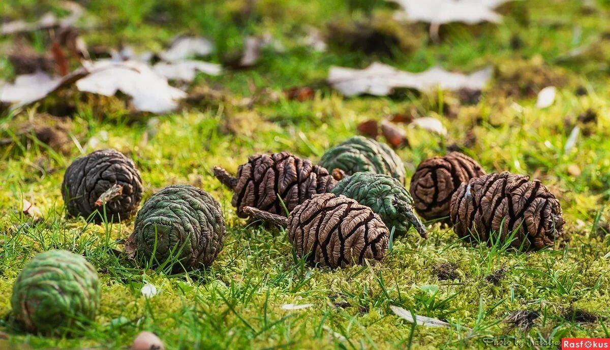 Картинки кедровые шишки в лесу