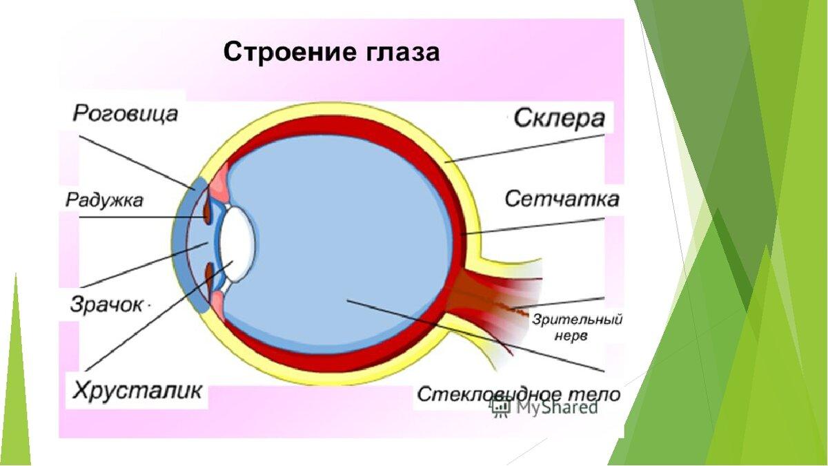 Схема строения глаза человека в хорошем качестве можешь тоже