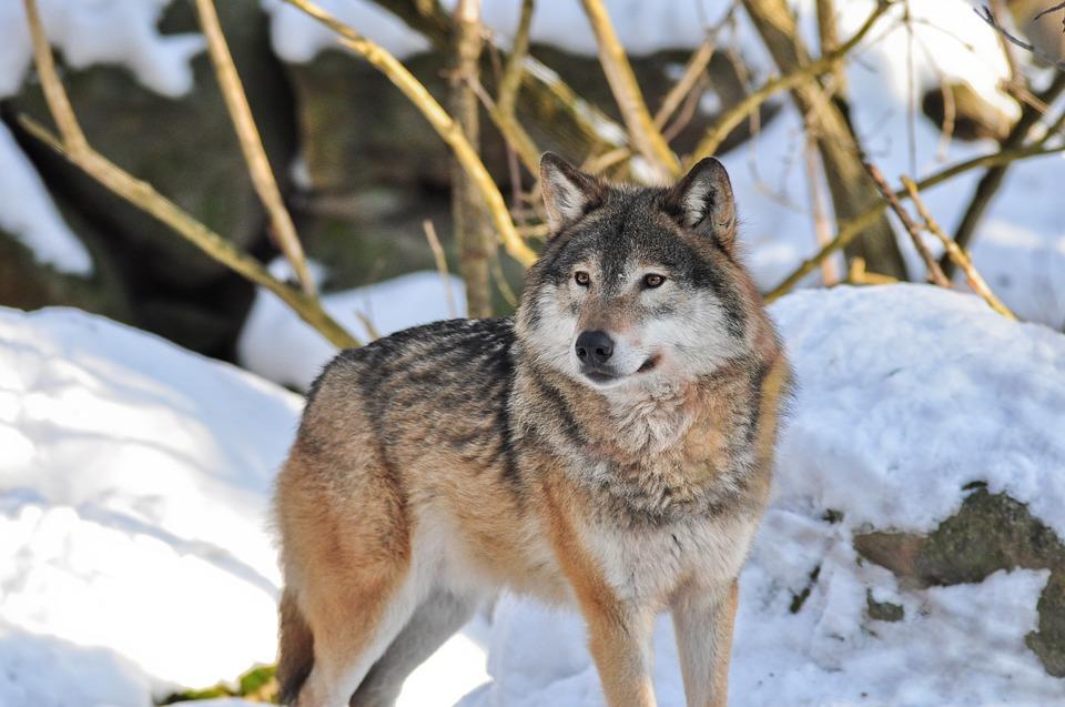 этом гипс сибирский волк зимой фото цыганок-соблазнительниц