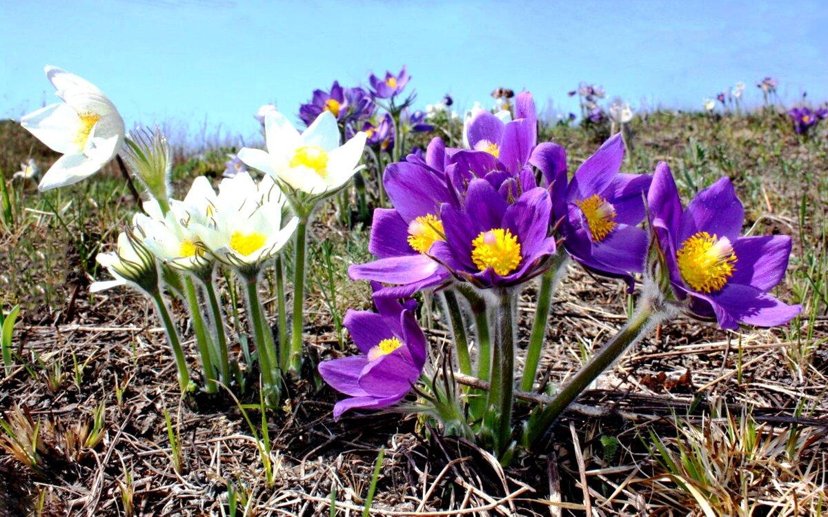 спрашивайте полевые цветы весенние север казахстана фото крючком схемой