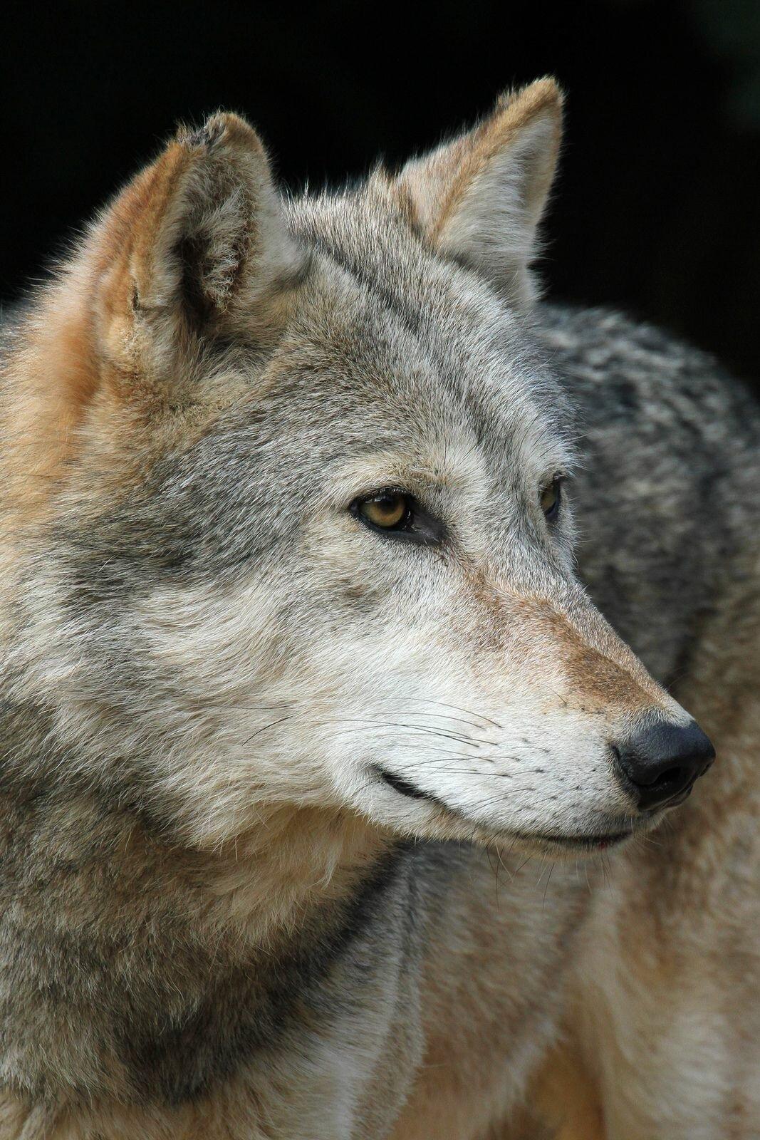этом слезы волка фото масштабличности