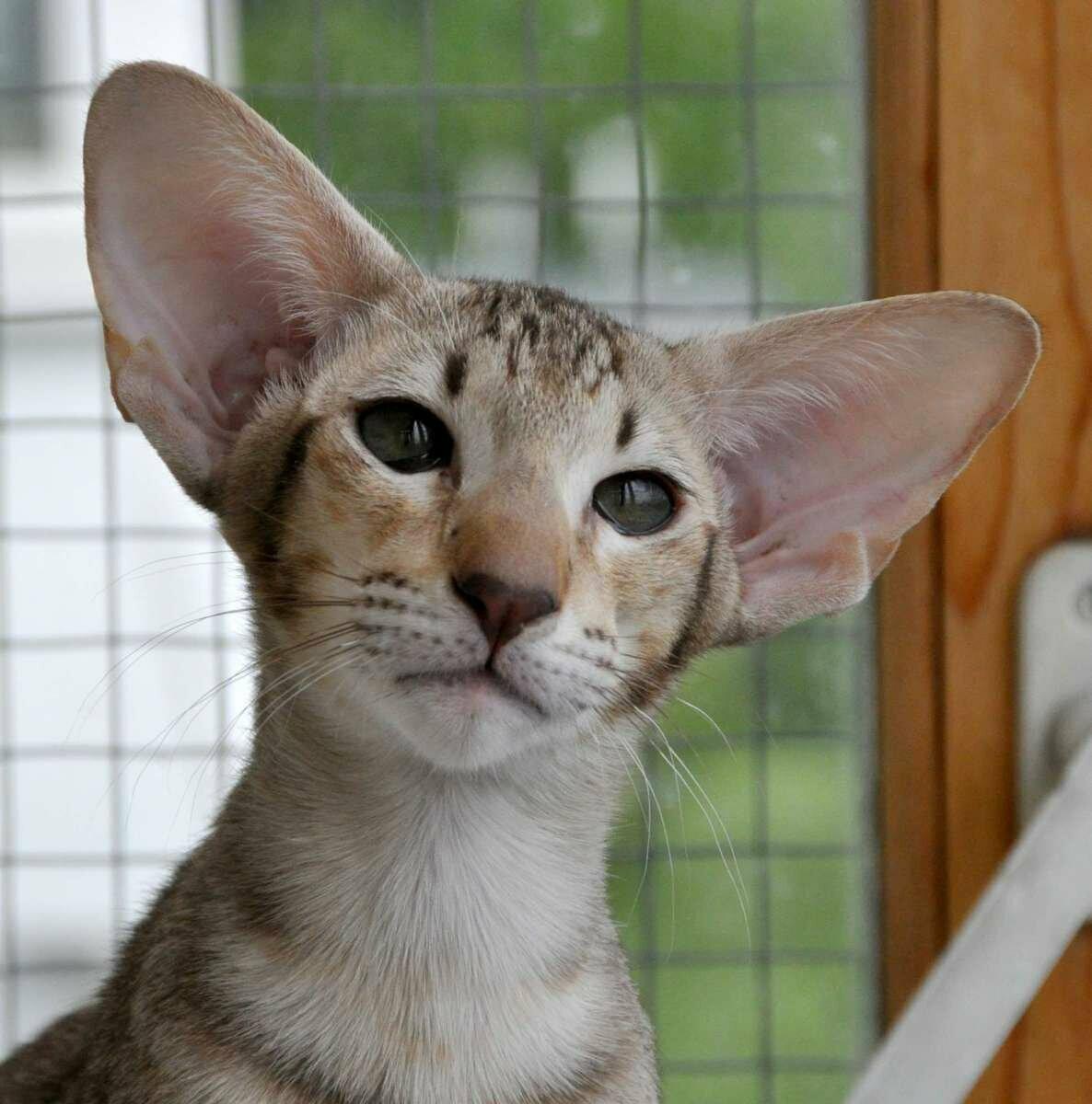 это картинки пород кошек с большими ушами вам