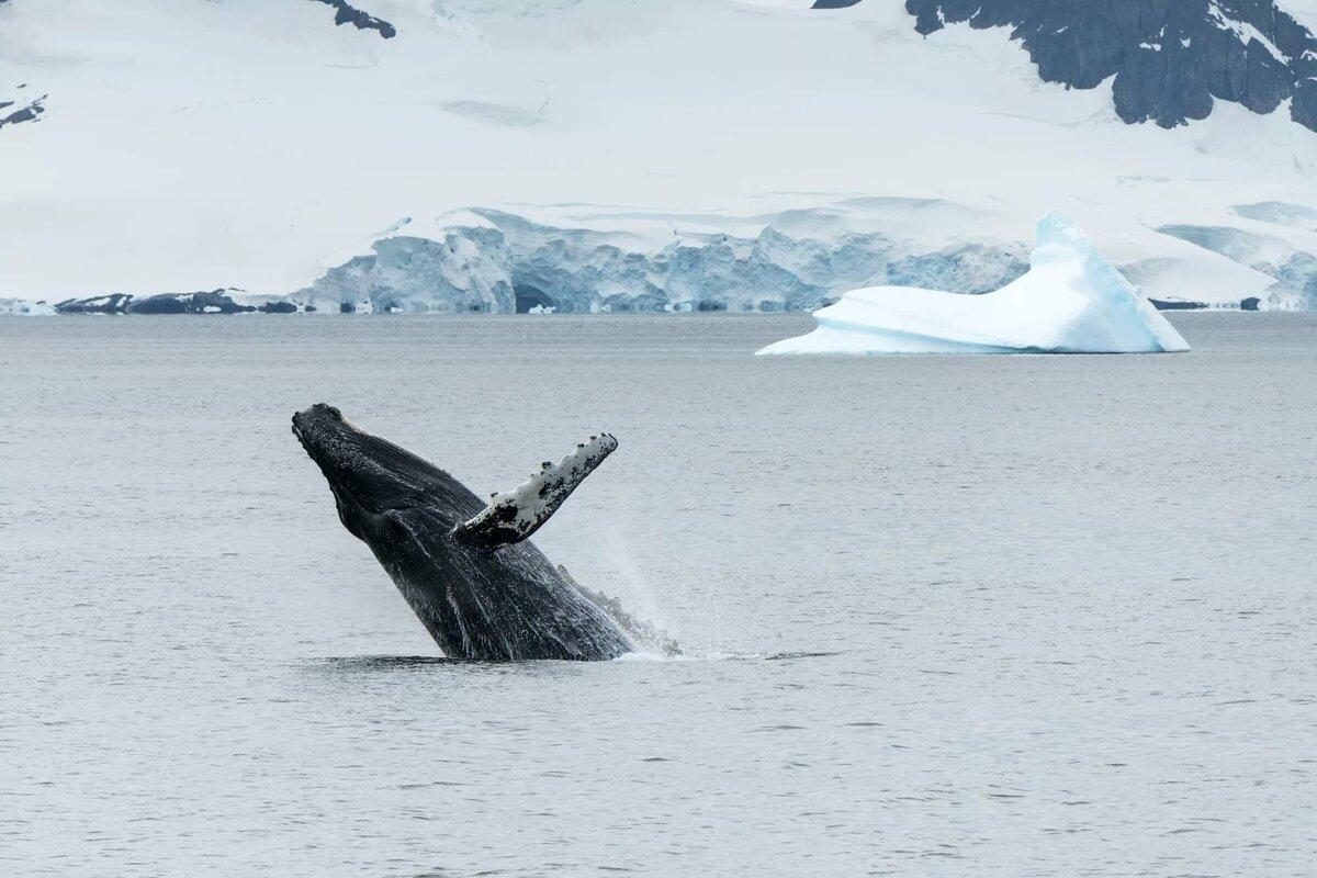 флюгер зачастую животные антарктиды фото синего кита изменил
