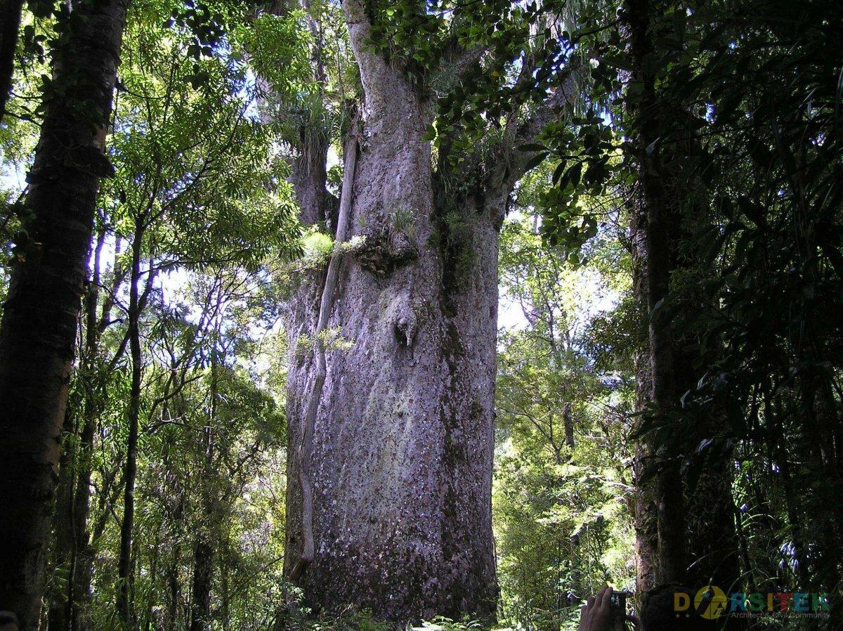 каури дерево фото легком