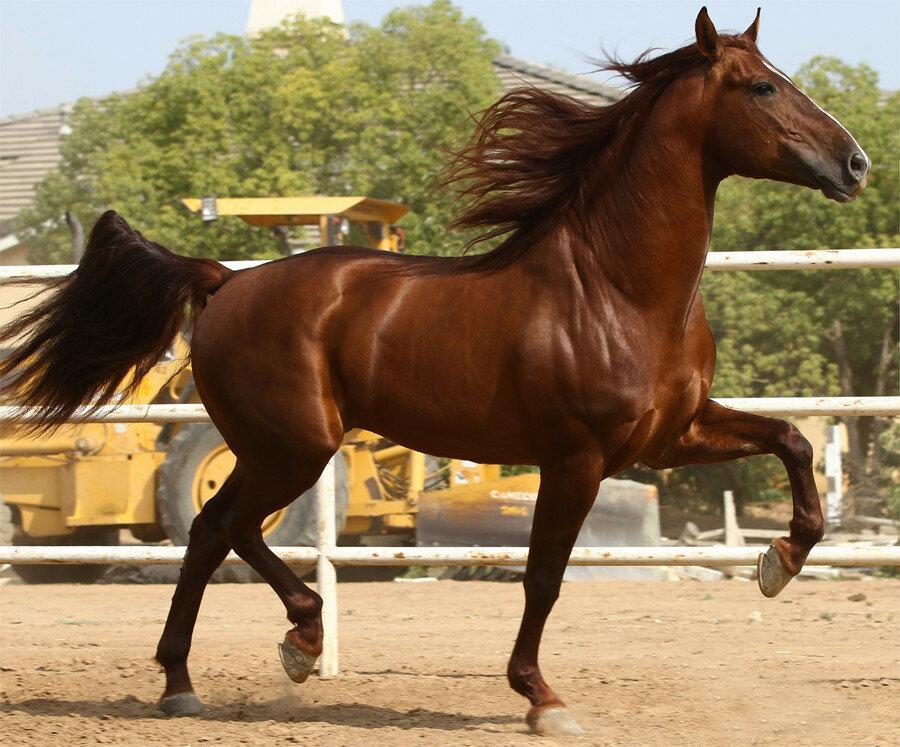 испанский шаг лошади картинки анфас мужчину для взаимных