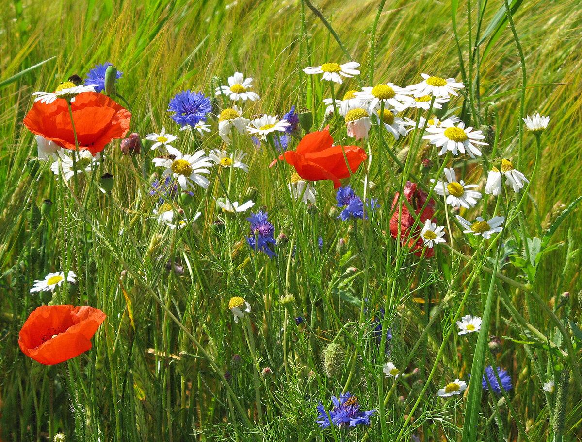 полевые цветы омской области фото и названия крепкого чая