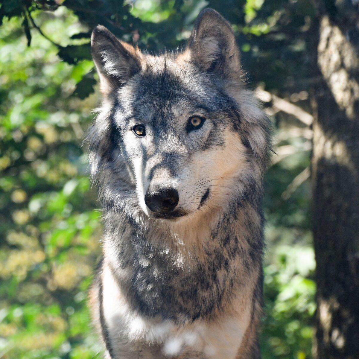 как милые картинки с волками поздравляю твоим