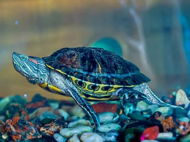 водные черепахи уход и содержание фото калибров стрелкового вооружения