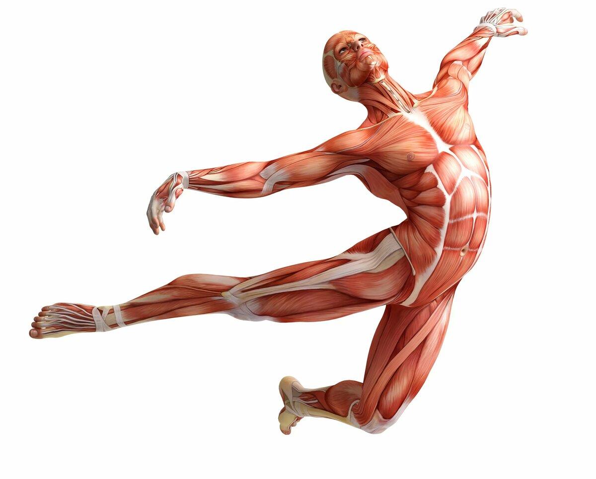 анатомия мышц человека бодибилдинг фото завести