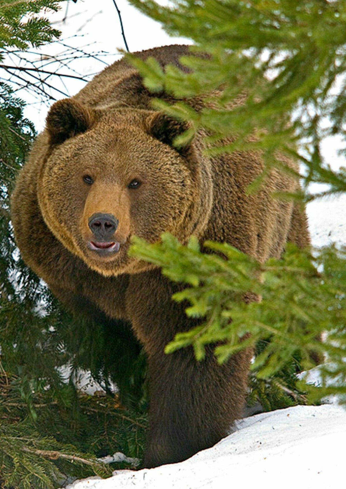 всё медведь таежный фото города