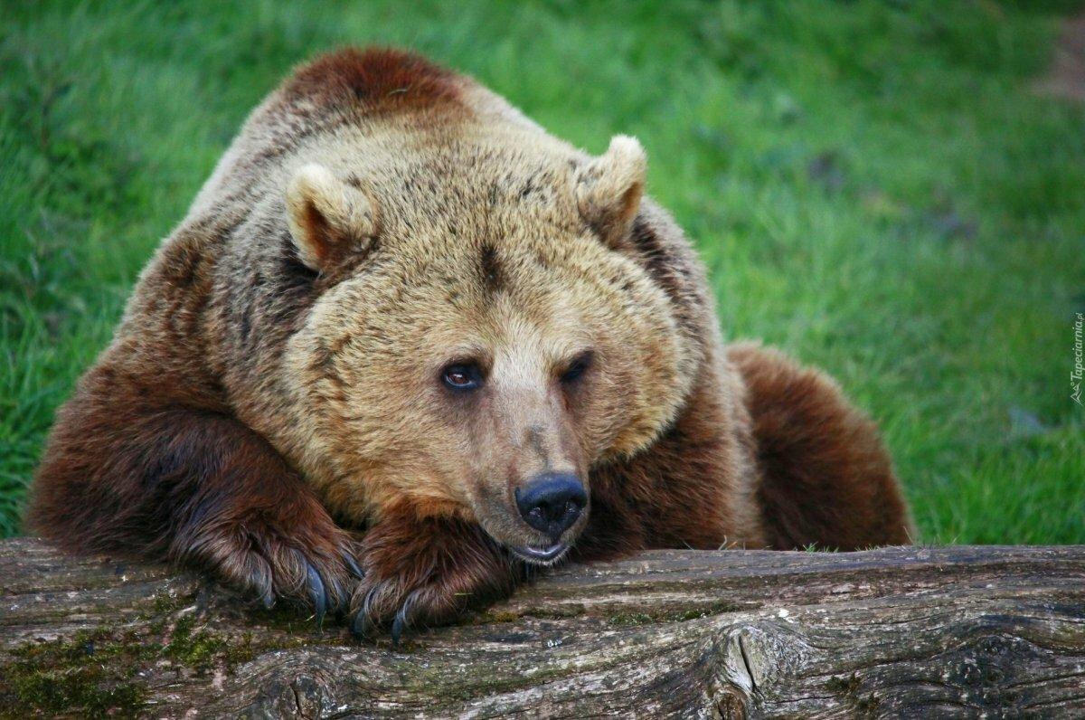 Картинка медведя большая
