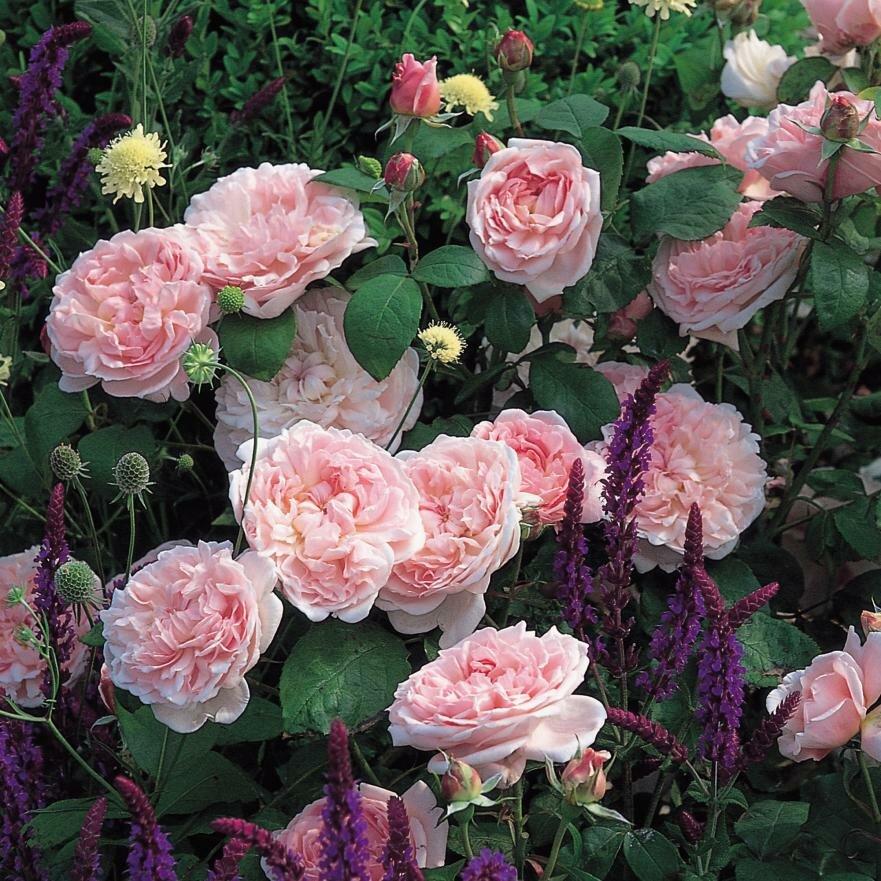 Роза эглантин фото описание отзывы