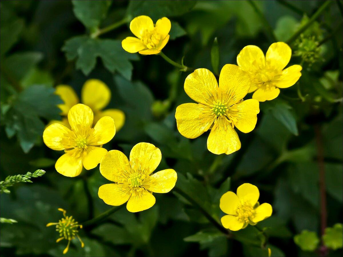 Лютики фото цветов дикорастущих
