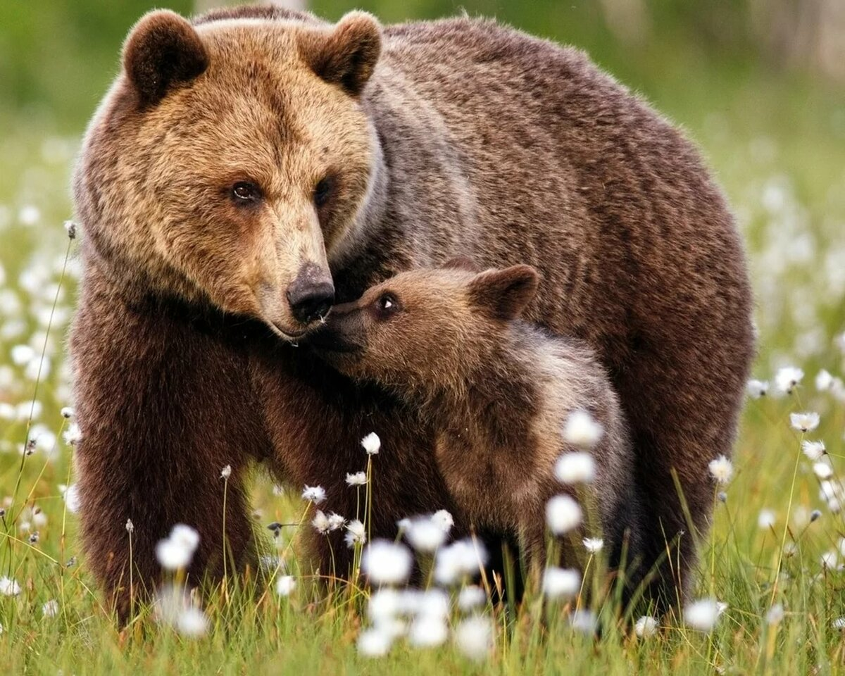 Картинка для детей медведь и медвежонок