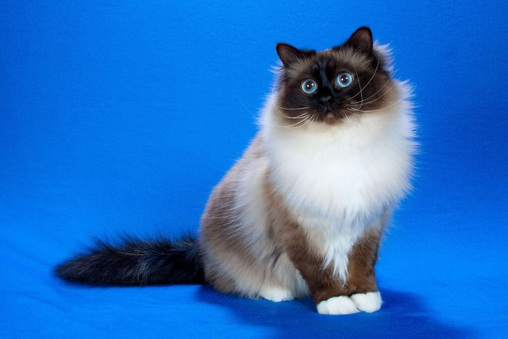 коты сибирская бирма получается очень